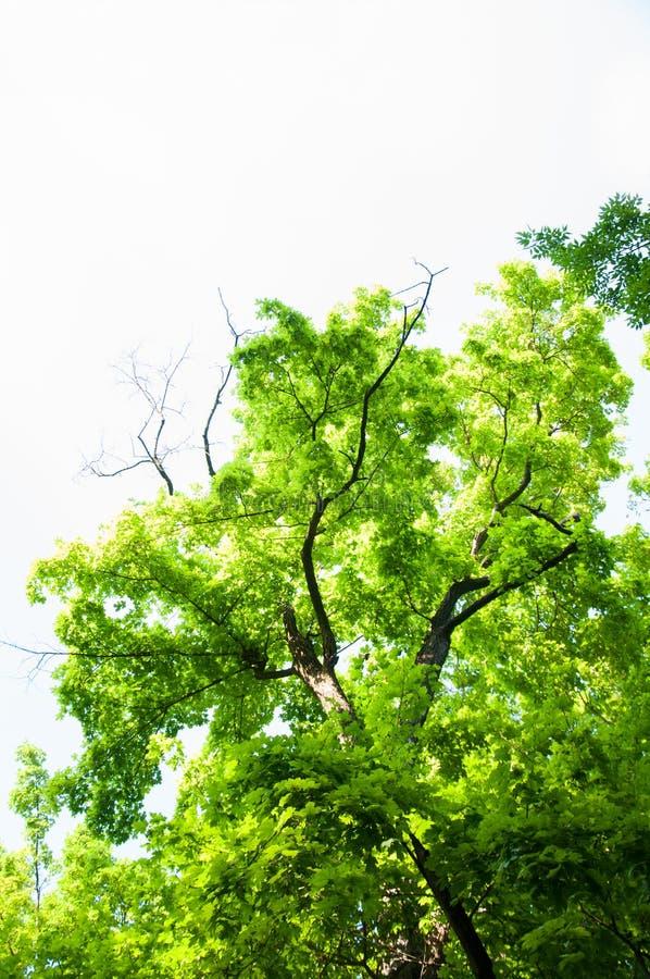 Wysocy drzewa w lesie w lecie Zieleń liście i gęste gałąź Drzewny baga?nik obrazy royalty free