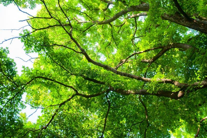 Wysocy drzewa w lesie w lecie Zieleń liście i gęste gałąź Drzewny baga?nik zdjęcie stock