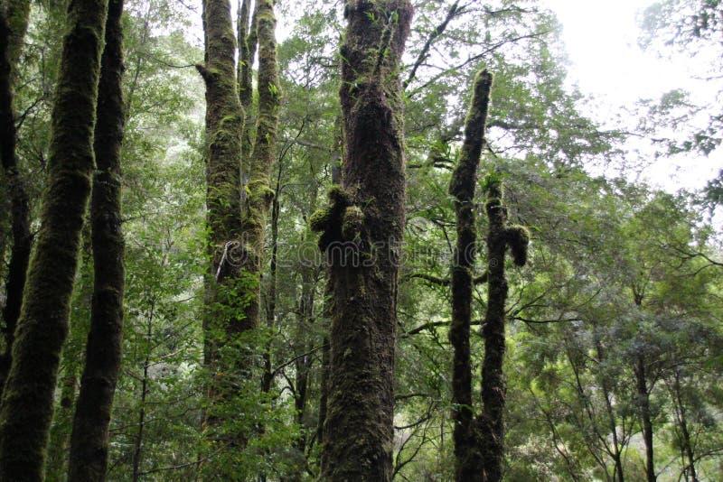 Wysocy drzewa w Tasmanian lesie zdjęcia royalty free