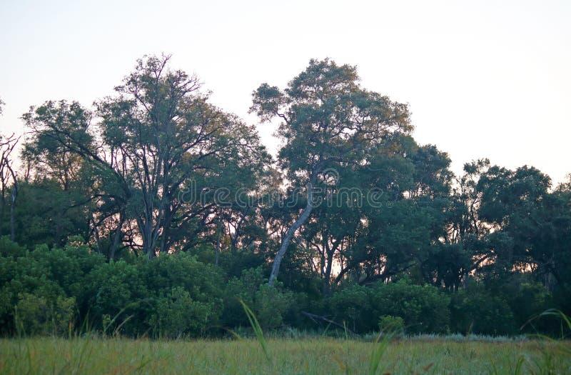 WYSOCY drzewa Z SŁABO RÓŻOWYM światłem wczesny poranek POZA fotografia royalty free