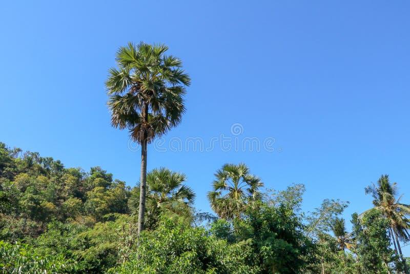 Wysocy drzewka palmowe wzrastają wierzchołek inni drzewa Latarnia morska w tropikalnej dżungli Zwarty tropikalnego lasu deszczowe obraz stock