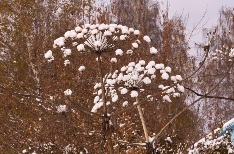 Wysocy kwiatostany Hogweed odkurzający z śniegiem zdjęcia stock