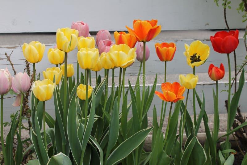 Wysocy pastelowi tulipany wzdłuż ogrodzenia zdjęcie stock