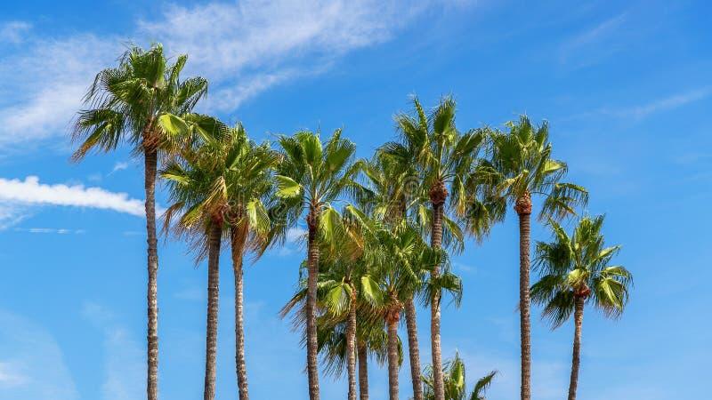 Wysocy pionowo drzewka palmowe z zielonymi liśćmi przeciw niebieskiemu niebu z chmurami na jasnym słonecznym dniu na Francuskim R obraz stock