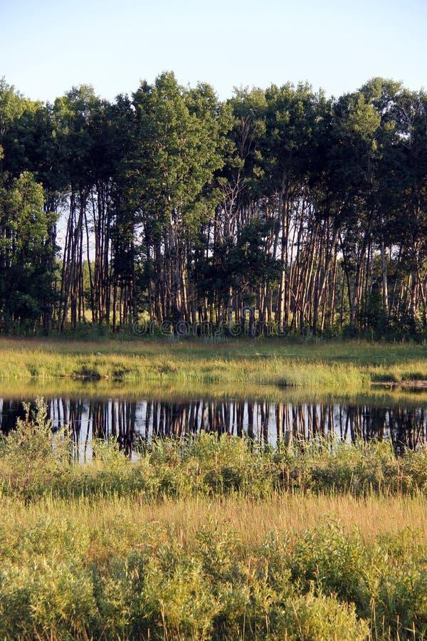Wysocy prości topolowi drzewa odbijali w pong w południowym Manitoba zdjęcie royalty free