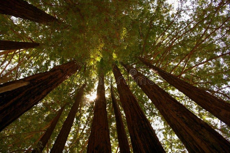 Wysocy sekwoj drzewa Z słońcem Filtruje zdjęcie royalty free