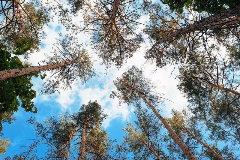 Wysocy sosna wierzchołki przeciw niebieskiego nieba i bielu chmurom zdjęcia stock