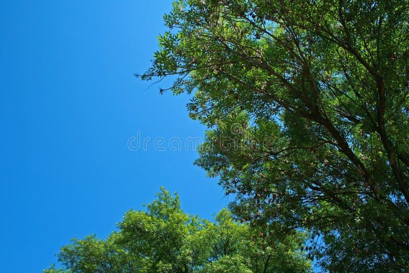 WYSOCY ZIELENI drzewa W lecie obrazy royalty free