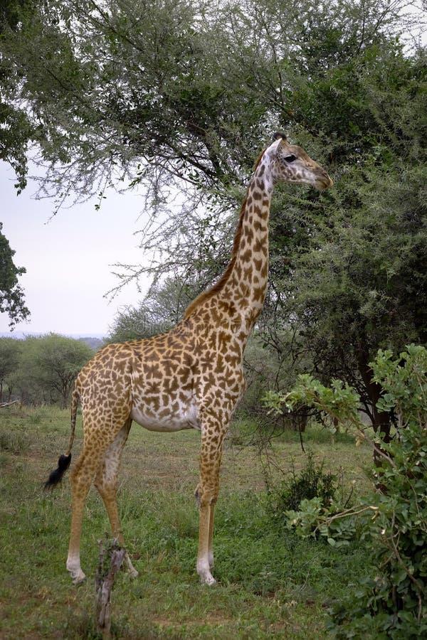 Wysoka żyrafa pozuje dla kamery zdjęcie stock