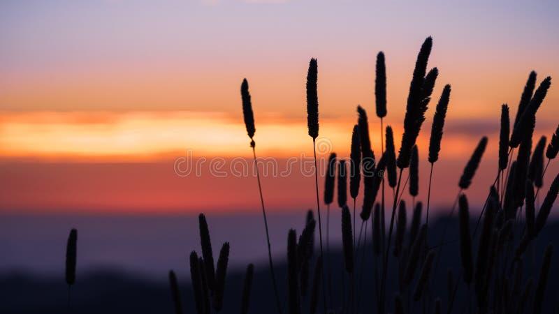 Wysoka Harding trawy Phalaris aquatica sylwetka przy zmierzchem; kolorowy niebo widoczny w tle; Santa Cruz góry, zdjęcie stock
