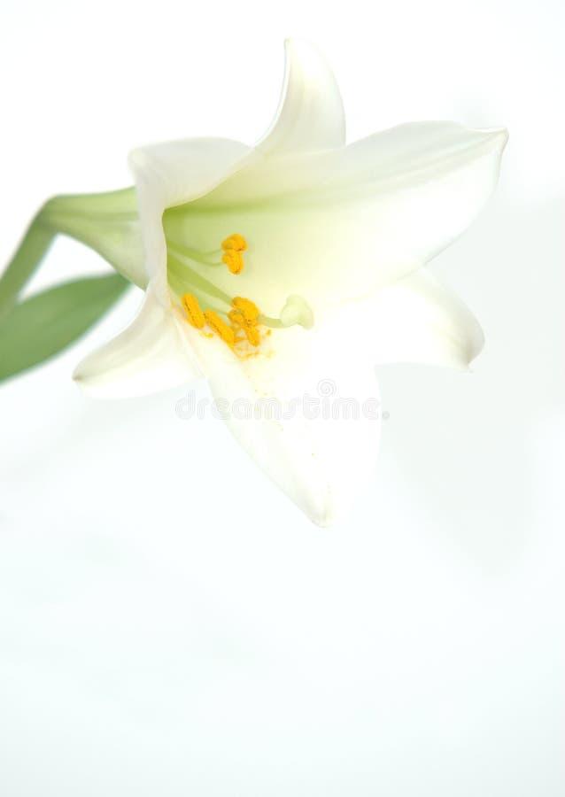wysoka kluczowe lily fotografia stock