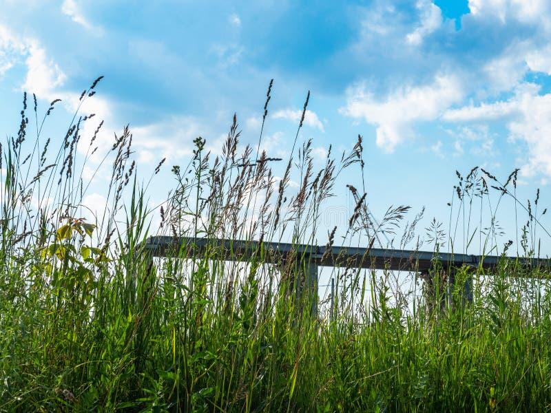 Wysoka kwiatonośna trawa rozciąga w niebo, letni dzień obrazy royalty free