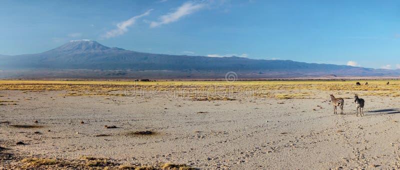 Wysoka rozdzielczość szeroka panorama dwa równiien zebry Equus kwaga, obrazy stock