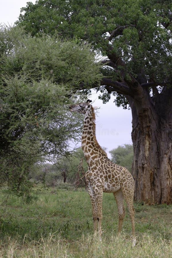 Wysoki żyrafy karmienie na akacjowym drzewie. obrazy stock