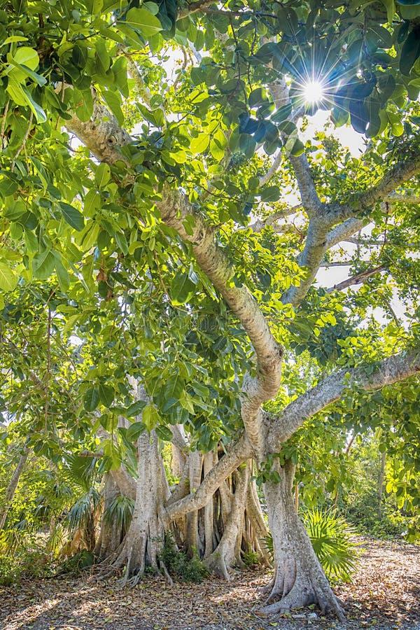 Wysoki Banyan drzewo W lesie fotografia royalty free