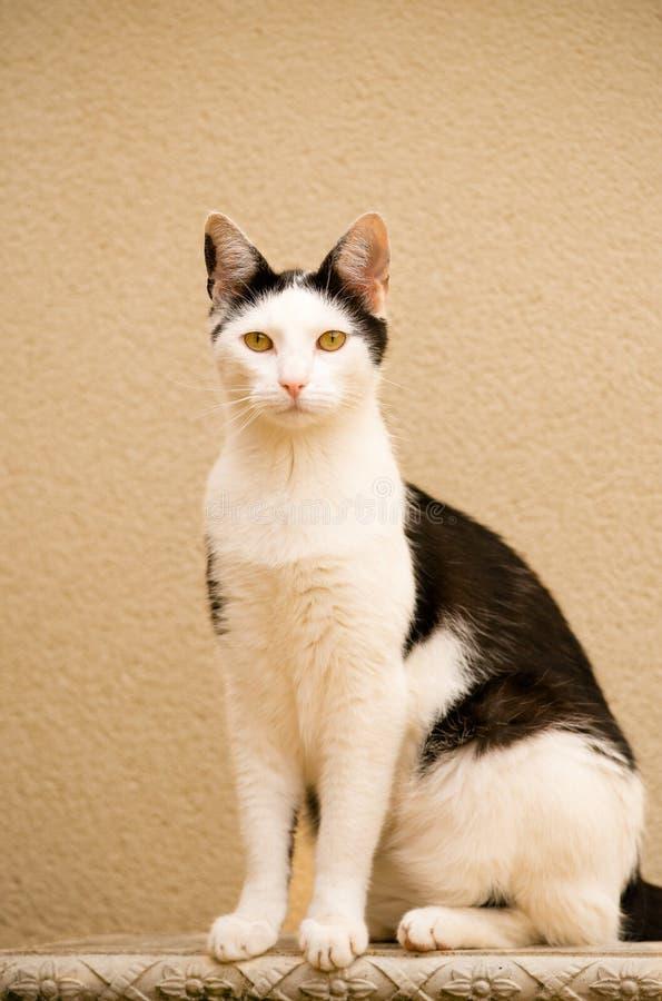 Wysoki Biały I Czarny kot Na Ozdobnej ławce zdjęcie royalty free