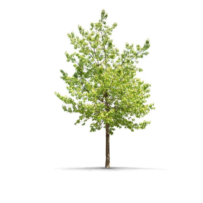 Wysoki definici drzewo odizolowywający na białym tle fotografia royalty free