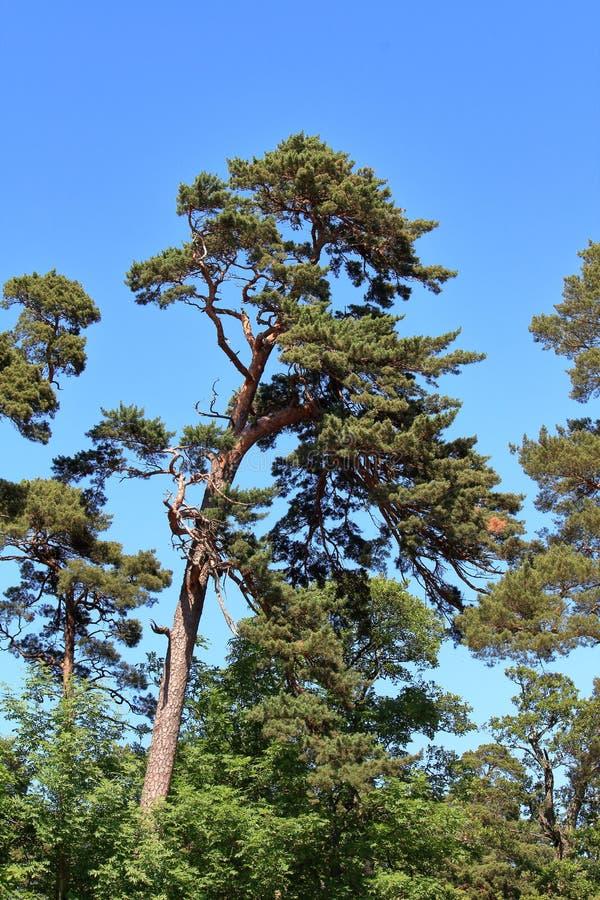 Wysoki drzewo przeciw niebieskiemu niebu obraz royalty free