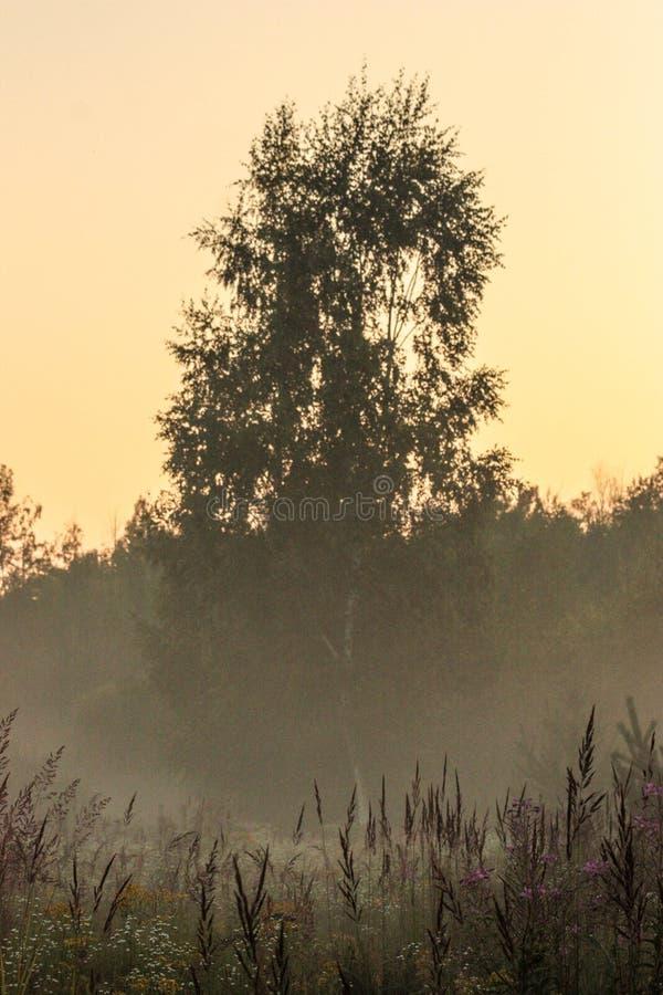 Wysoki drzewo przy zmierzchem w wieczór mgle fotografia royalty free