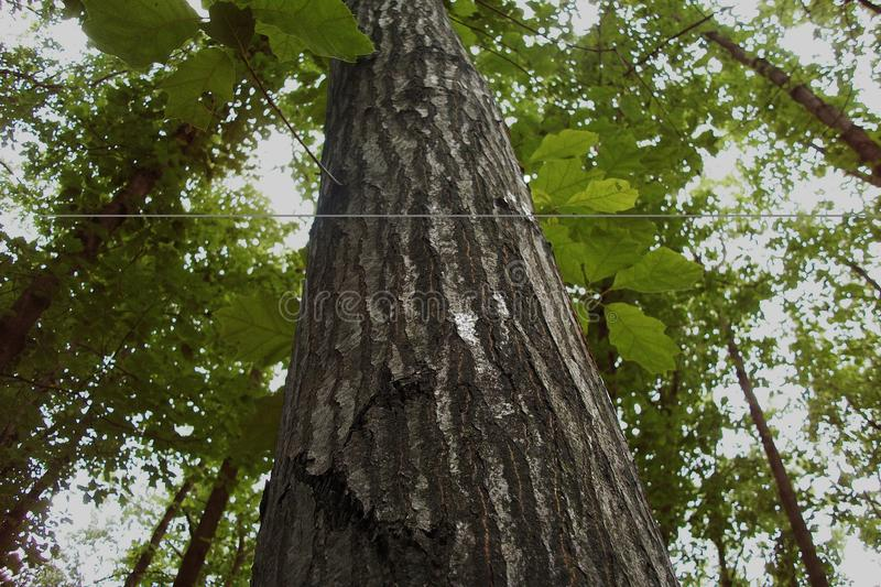 Wysoki drzewo w magicznym lesie obraz royalty free