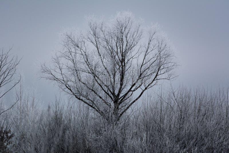 Wysoki drzewo zakrywający z śniegiem zdjęcie stock