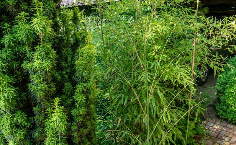 Wysoki elegancki bambusowy Phyllostachys aureosulcata krzak dostosowywa doskonale w projekt piękny ornamentacyjny ogród zdjęcie royalty free