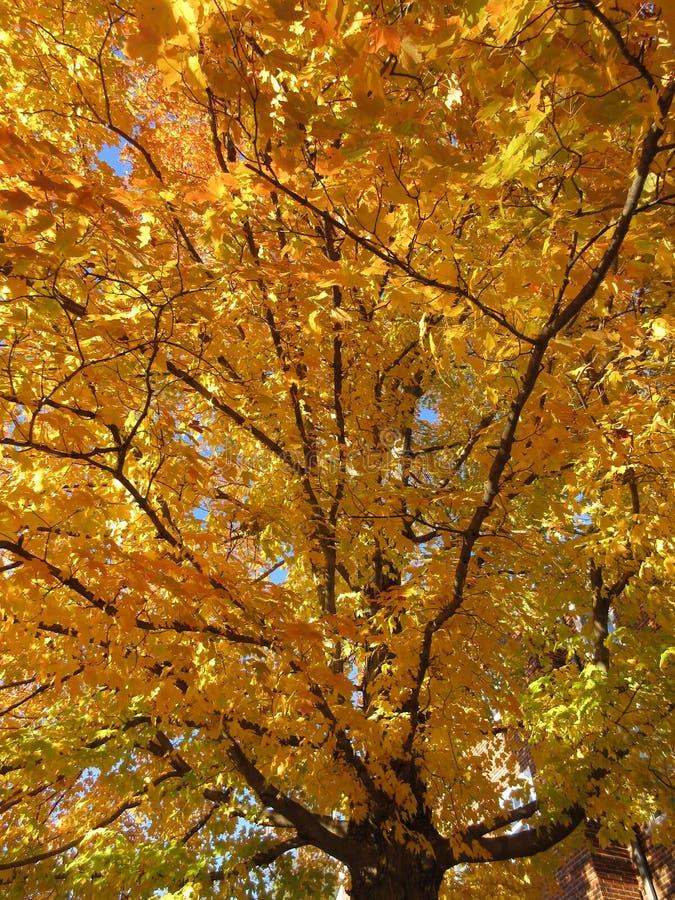 Wysoki i Ładny jesieni drzewo zdjęcie stock