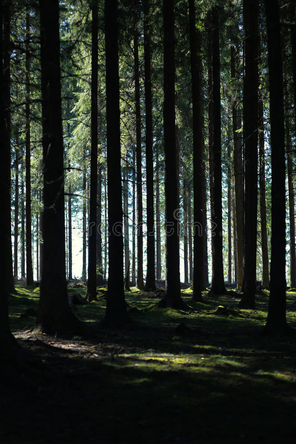 Wysoki jedlinowy las obraz stock