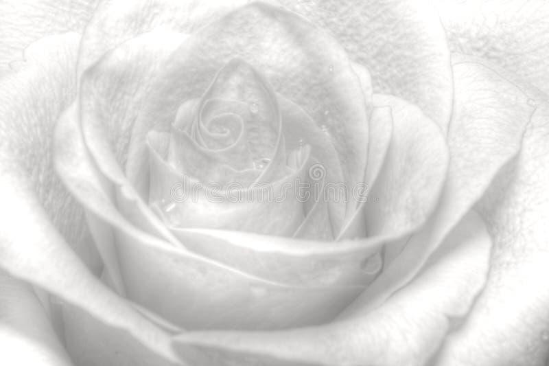 wysoki klucz rose fotografia stock
