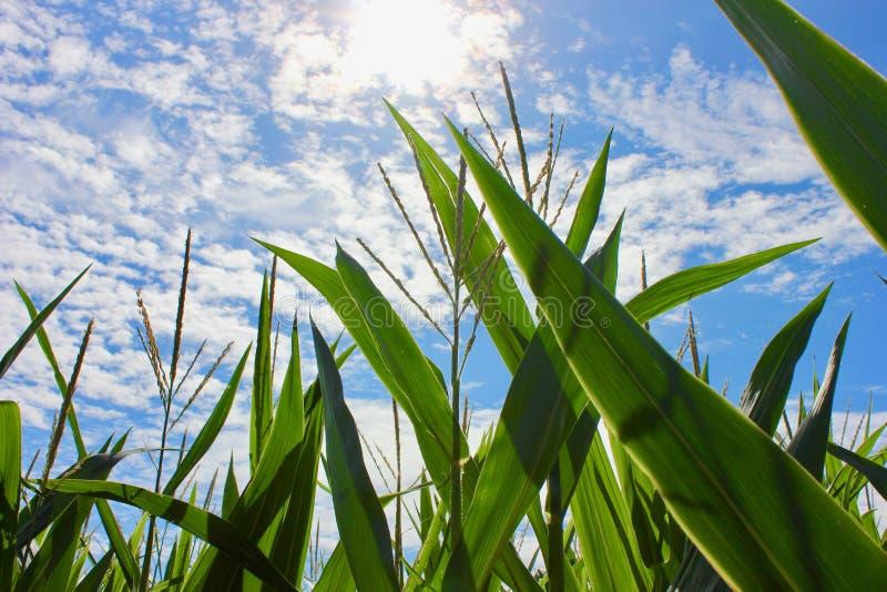 Wysoki kukurydzany dorośnięcie pod niebieskim niebem fotografia royalty free
