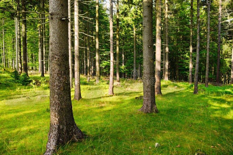Wysoki Norwegia świerczyny picea abies drzewa w lesie Świerczyny r w wiecznozielonym iglastym lesie obrazy stock