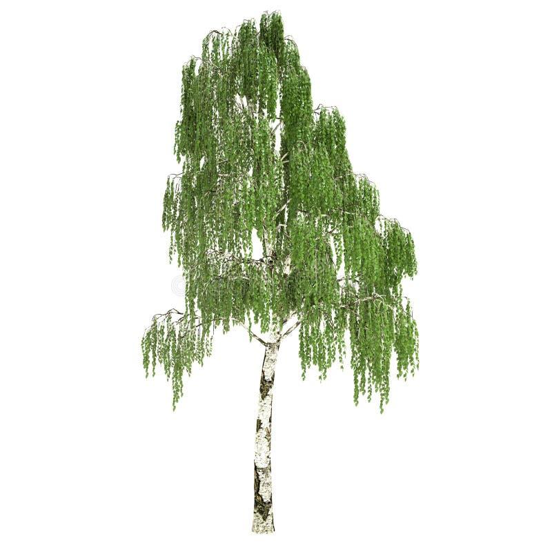 Wysoki Rosyjski brzozy drzewo Odizolowywający ilustracja wektor