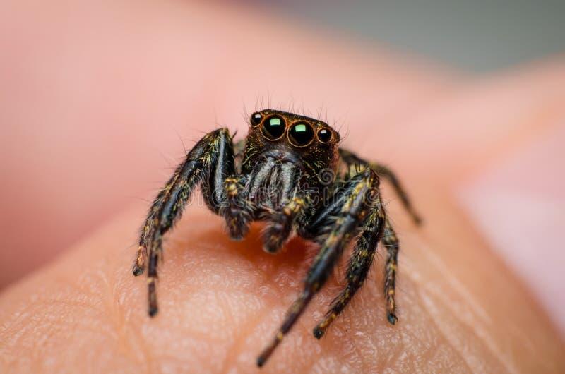 wysoki skokowy makro- powiekszania fotografii pająk obraz royalty free