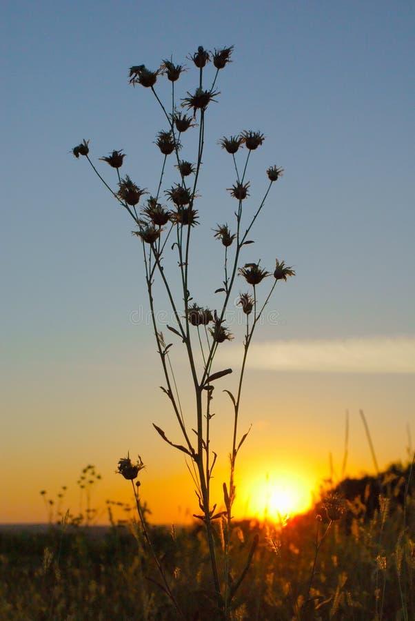 Wysoki suszy kwiatu przy zmierzchem z czerwonym słońcem fotografia stock