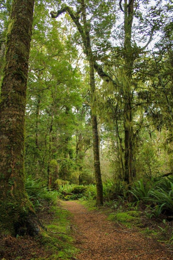 Wysoki Totaras Drzewny spacer blisko Tuatapere, Południowa wyspa, Nowa Zelandia zdjęcia royalty free