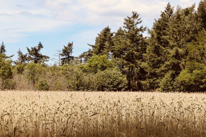 Wysoki trawa krajobraz z sosna rożka drzewami na tle zdjęcia royalty free