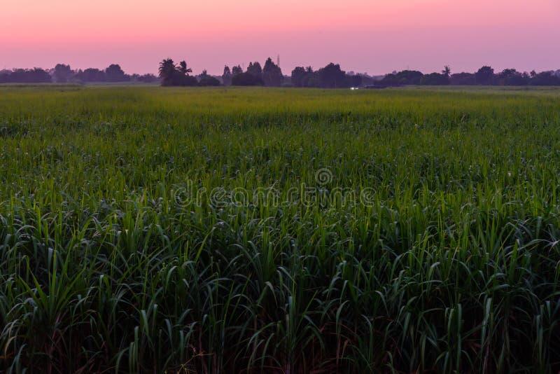 Wysoki widok trzcina cukrowa zdjęcia stock
