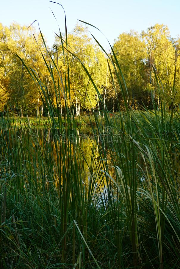 Wysoki zielonej trawy zbliżenie białej brzozy drzewa z jaskrawym kolorem żółtym f zdjęcie stock
