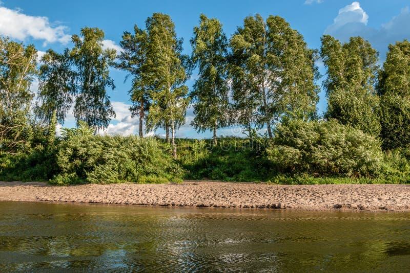 Wysokie brzozy r na brzeg rzeki obrazy royalty free