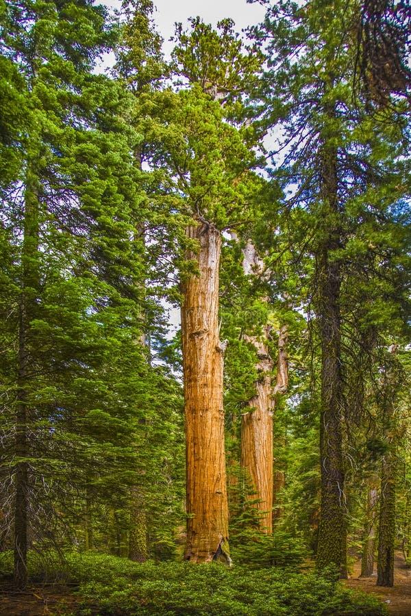 Wysokie i duże sekwoje w pięknym sekwoja parku narodowym obraz royalty free