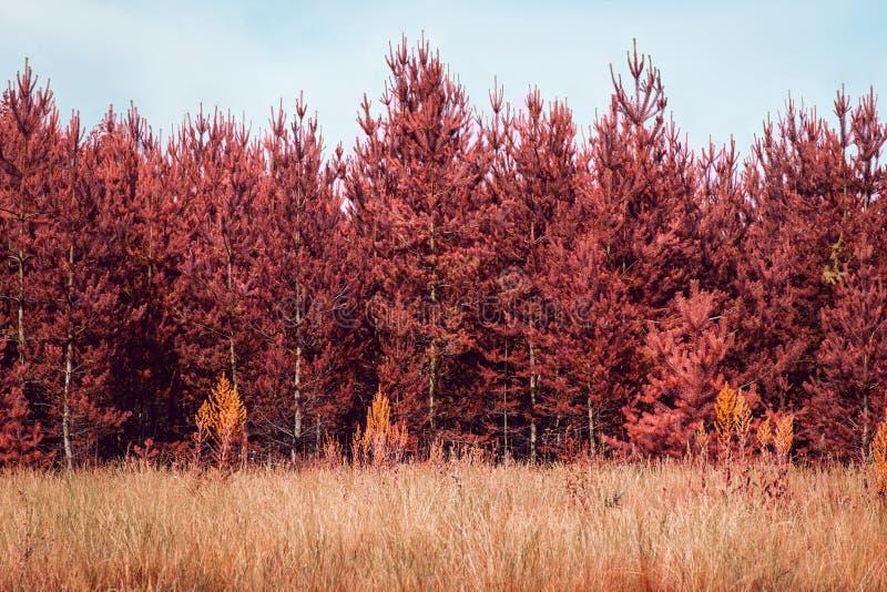 Wysokie jesieni sosny r pod niebieskim niebem zdjęcia royalty free