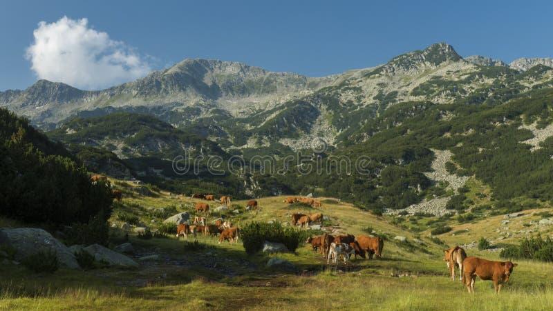 Wysokie krowy zdjęcie royalty free