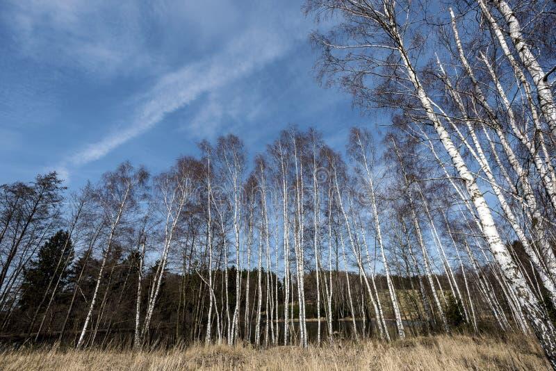 Wysokie nikłe brzozy płonie w niebieskie niebo zdjęcia royalty free