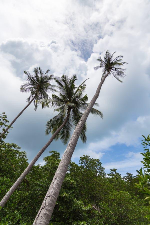 Wysokie palmy zdjęcie royalty free