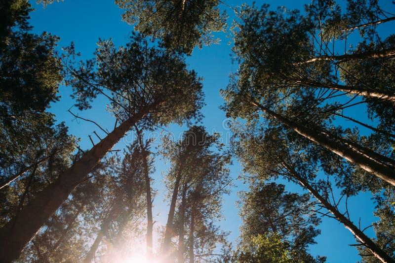 Wysokie sosny w lesie obrazy royalty free