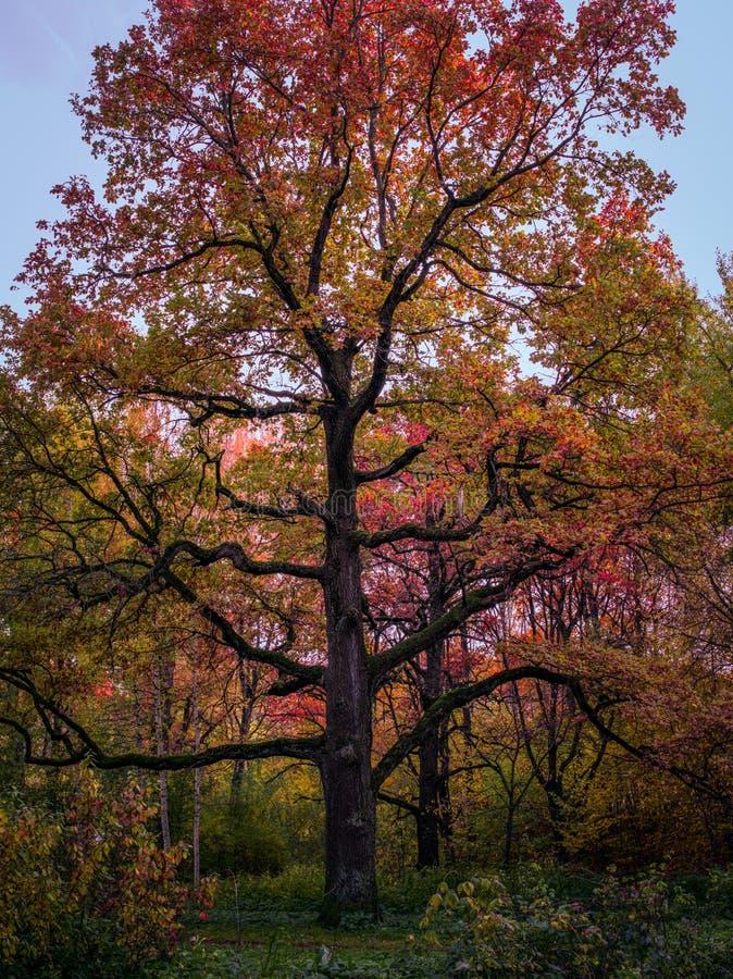 Wysoko smukłe, piękne drzewo znajduje się w ogródku Botanicznym w parku Moskwa zdjęcia royalty free