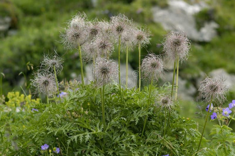 wysokogórscy kwiatu pasque ziarna fotografia royalty free