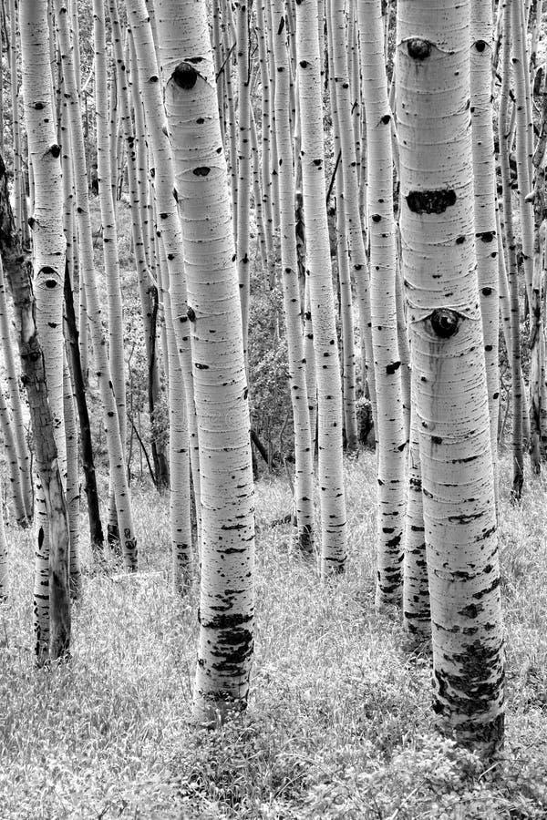 wysokogórscy osikowi Utah drzewa leśne obraz stock
