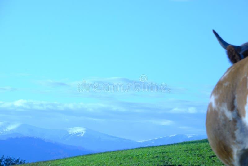 wysokogórska krowa zdjęcie royalty free