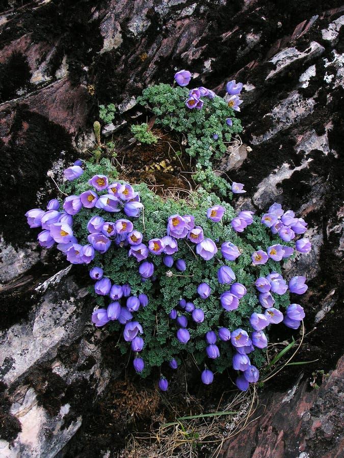 wysokogórski kwiatów lodowa gongga zdjęcia stock